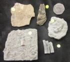 COLLECTION OF LIASSIC CRINOIDS FROM DORSET AND GLOUCESTERSHIRE.